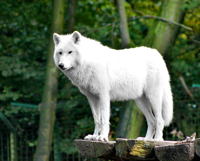 White wolf at the Animal Ark