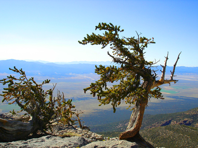 Old bristlecone pines overlooking the Great Basin