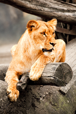 Lioness on the lookout