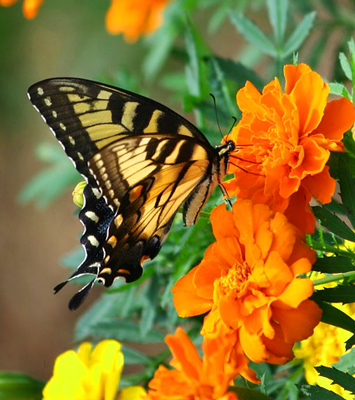 Pretty Monarch Butterfly