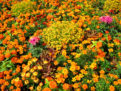 Pretty orange an yellow flowers