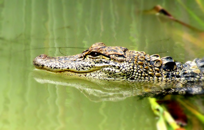Young alligator in the Everglades