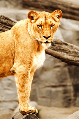Lioness at the Philly zoo